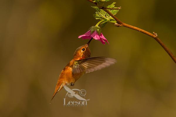 Male Rufous Hummingbird (Selasphorus rufus) nectaring on salmonberry blossom.  Western Washington.  April.
