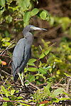 Monkey River, Belize, Central America; an adult Little blue heron (Egretta caerulea) stands perched on mangroves at the edge of the Monkey River , Copyright © Matthew Meier, matthewmeierphoto.com All Rights Reserved