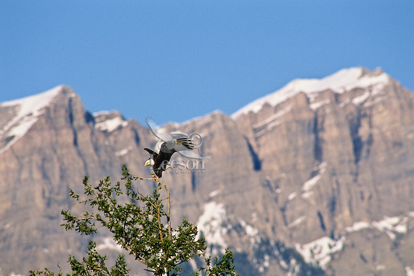 Bald eagle landing in tree, Northern Rockies.