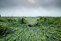 Wheat lodges following heavy rain & wind - Lincolnshire, June