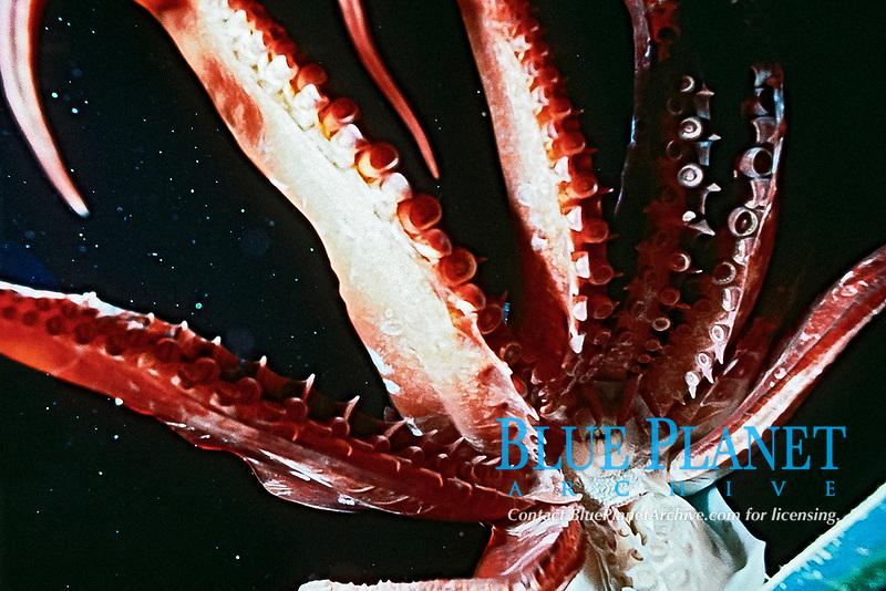 Pacific Ocean jumbo squid or Humboldt squid, Dosidicus gigas, showing sharp hooks on tentacles, Mexico, Sea of Cortez, Pacific Ocean