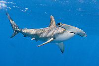 smooth hammerhead, Sphyrna zygaena, Cape Point, South Africa