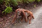 Bornean Orangutan (Pongo pygmaeus wurmbii) - mother, baby and juvenile in motion blur
