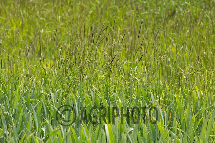 Heavy infestation of Black-Grass <br /> Picture Tim Scrivener 07850 303986