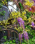 Wisteria on Beacon Hill, Boston, Massachusetts, USA