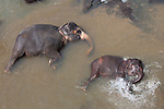 10 March 2015, Kandy, Sri Lanka: Elephants from the Pinnawala Elephant Orphanage bathing in the Maha Oya river outside of Kandy, Sri Lanka.  Pinnawala is an orphanage, nursery and captive breeding ground for wild Asian elephants located at Pinnawala village, 13 km (8.1 mi) northwest of Kegalle town in Sabaragamuwa Province of Sri Lanka. Pinnawala is notable for having the largest herd of captive elephants in the world. In 2011, there were 88 elephants, including 37 males and 51 females from 3 generations, living in Pinnawala.<br /> The orphanage was originally founded in order to afford care and protection to many of the orphaned unweaned wild elephants found wandering in and near the forests of Sri Lanka. It was established in 1975 by the Sri Lanka Department of Wildlife Conservation.Picture by Graham Crouch for the New York Times