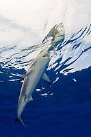 Caribbean reef shark, Carcharhinus perezi, attacking bird on the surface, Cat Island, Bahamas, Caribbean Sea, Atlantic Ocean