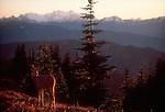 Deer, Mount Olympus, Olympic National Park, Washington State, Pacific Northwest, USA