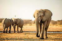 African elephants (Loxodonta africana), play fighting at a waterhole in the evening, Etosha National Park, Namibia, Africa