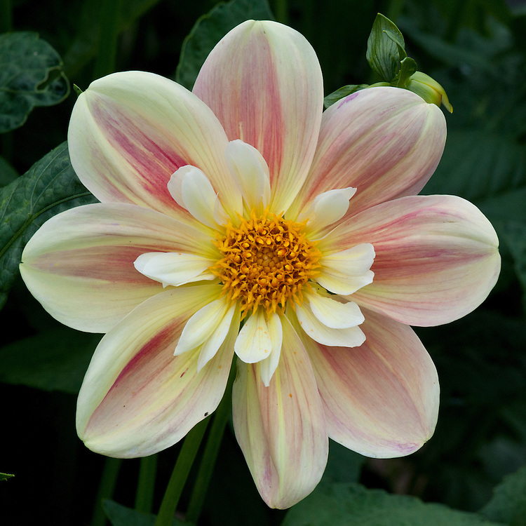 Dahlia 'Moor Place', mid August.