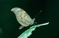 Butterfly, adult, El Yunque, Caribbean National Forest, Puerto Rico, USA