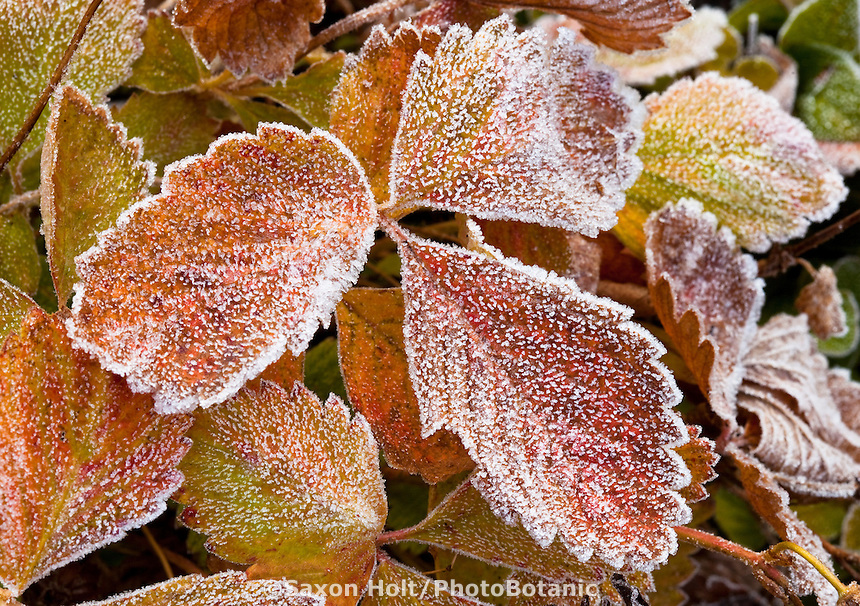 Frosty Alpine Strawberry leaves. cold morning in LynMar Winery edible winter garden