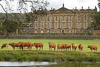 Limousin beef cattle grazing outside Chatsworth House, Derbyshire.