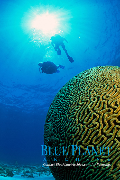 symmetrical brain coral, Pseudodiploria strigosa, Florida Keys, Florida, USA, Atlantic Ocean