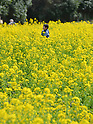People view some 300,000 rape blossoms in full bloom in Tokyo