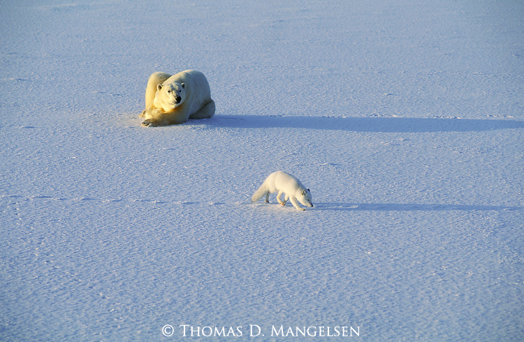An arctic fox circles a polar bear as it searches for any seal remains to eat.<br /> Hudson Bay, Manitoba, Canada