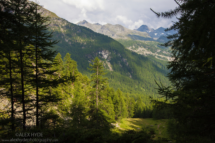 Coniferous woodland, Aosta Valley, Monte Rosa Massif, Pennine Alps, Italy. July.