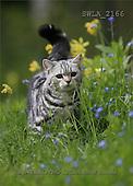 Carl, ANIMALS, photos(SWLA2166,#A#) Katzen, gatos