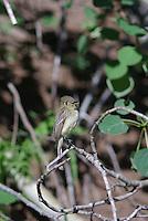 Western Flycatcher seen in mountains in southern Utah.