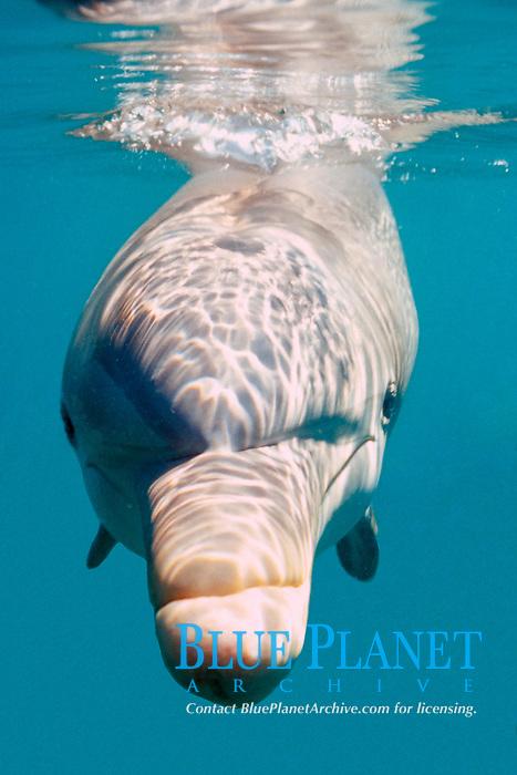 Bottlenose dolphin,  Tursiops truncatus,  Oahu, Hawaii N. Pacific Ocean