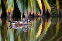 Australian Shoveler (Spatula rhynchotis), male swimming in a pond in Queens Park, Invercargill, Southland, New Zealand.
