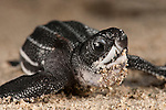 Leatherback turtle (Dermochelys coriacea) baby freshly hatched out of its nest.