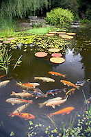 Koi in pond. Hughes Water Gardens. Oregon