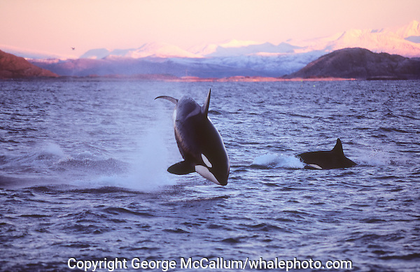 Killer whale Orcinus Orca Adult male breaching or jumping Tysfjord, Arctic Norway
