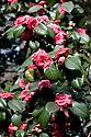 Camellia japonica 'Beni-Otome', mid March.