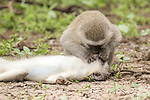 Vervet monkey appears to perform CPR on fellow injured monkey by William Steel