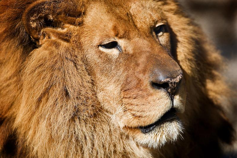African Lion. West Coast Game Park. Oregon