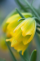 Fritillaria rixii, glasshouse, late March. A Greek species with yellow flowers.