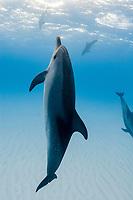 Wild Atlantic Spotted dolphins (Stenella frontalis), Little Bahama Bank, Bahamas, Caribbean, Atlantic