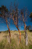 Trio of Madrona (Arbutus menziesii) Trees, Yellow Island, San Juan Islands, Washington, US