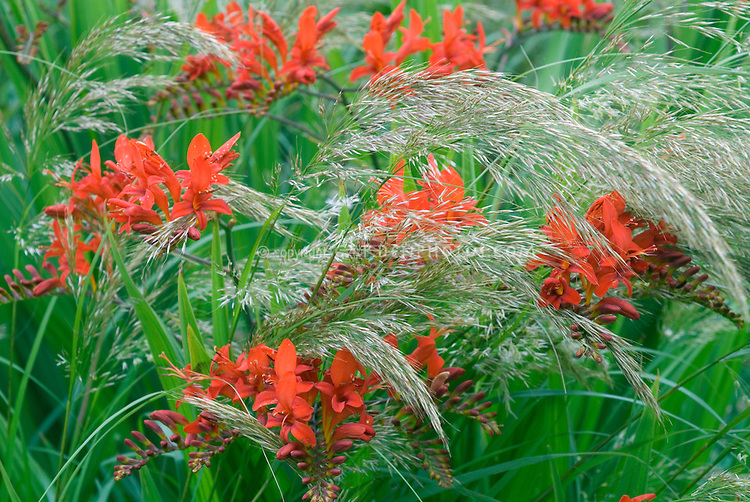 Red flowers of Crocosmia Lucifer planted together with airy plumes of Stipa calamagrostis Grass