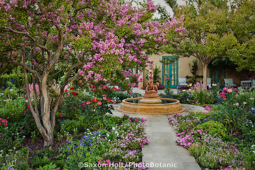 Crape Myrtle - Lagerstroemia flowering summer tree in Napa patio garden in California country garden with roses