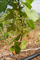 Flowering grape vine. Traminer. Amyntaion wine cooperative, Amyndeon, Macedonia, Greece
