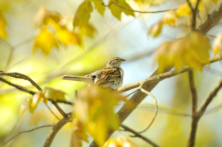 The tiny Swamp Sparrow scouts out shoreline for a home territory in early spring.