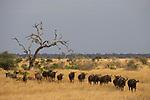 Blue Wildebeest (Connochaetus taurinus) herd in savanna, Kruger National Park, South Africa