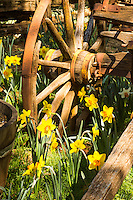 A fine art western image of spring yellow daffodils growing around an historic wooden wagon wheel from the Old West.  The bright yellows blend easily with the brown wood and rusted wheel hardware.