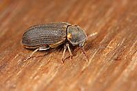 Nagekäfer, Holzwurm, Anobium spec., Furniture beetle, house borer, Anobiidae, Ptinidae, woodboring beetles, Pochkäfer