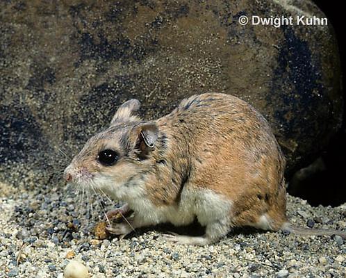 MU32-057z  Northern Grasshopper Mouse in SW Desert - Oncychomys leucogaster