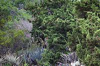 Juniperus californica - California Juniper tree at Rancho Santa Ana Botanic Garden