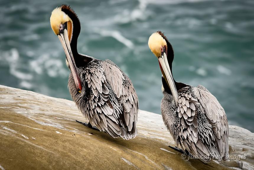 Brown Pelicans preen in unison at La Jolla Cove near San Diego, California