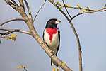 Rose-breasted grosbeak - male perched in a willow in northern Wisconsin.