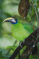 Emerald Toucanet, Aulachorynchus prasinus, adult perched, Central Valley, Costa Rica, Central America, December 2006