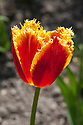 Tulip 'Davenport' (Fringed Group), late April. First introduced in 1999.