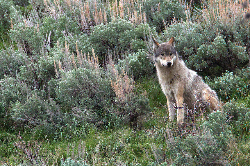 This young Yellowstone wolf (Canis lupus) came back to a carcass provided by her pack only to find a large male black bear laying on top of it. As she seemed to be alone and showing great discretion, she apparently decided to wait for the bear to leave.