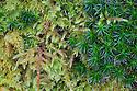 Red-stemmed Feather-moss {Pleurozium schreberi}, Bank Haircap Moss {Polytrichum formosum} and Common Tamarisk-moss {Thuidium tamariscinum} growing together in mound. Lake District National Park, Cumbria, UK. February.
