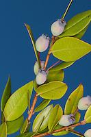 Myrte, Echte Myrte, Brautmyrte, Gemeine Myrte, Früchte, Myrtus communis, Common myrtle, Myrtle, True myrtle
